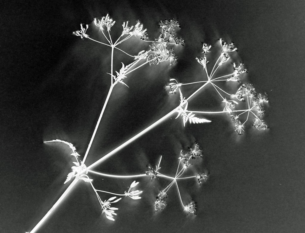 Cow Parsley 01