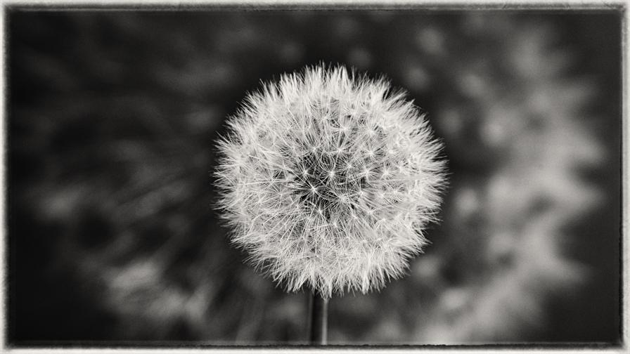Dandelion 6